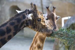 Girafe des Sables